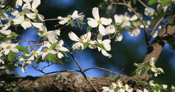 Dren u cvatu